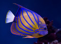 Bluering angelfish - PhotoDune Item for Sale