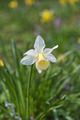 Daffodil - PhotoDune Item for Sale
