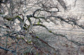 Bare branches of ancient tree - PhotoDune Item for Sale