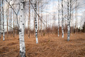 Bare birch trees - PhotoDune Item for Sale
