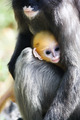 young dusky langur - PhotoDune Item for Sale