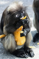 dusky langur with baby - PhotoDune Item for Sale