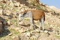 Yellow and white donkey on rocky hillside in the desert in Wadi Qelt near Jericho - PhotoDune Item for Sale