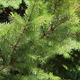 Pine Trees In Summer Breeze - VideoHive Item for Sale