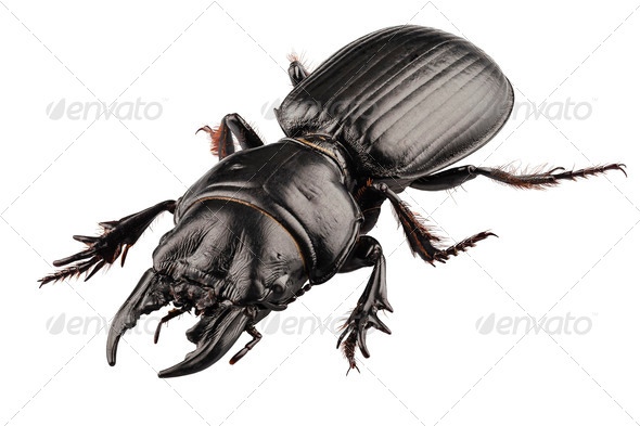 Lucanus cervus - Stock Photo - Images