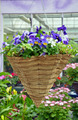 Purple pansy flower basket - PhotoDune Item for Sale