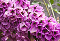 Shrub with lilac flowers. Shallow depth of field - PhotoDune Item for Sale