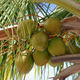 Coconuts - PhotoDune Item for Sale