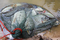 tilapia fish in  mesh bag - PhotoDune Item for Sale