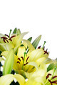 lily flowers - PhotoDune Item for Sale