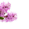 Beautiful Hyacinths - PhotoDune Item for Sale