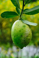 Mature lemons on tree - PhotoDune Item for Sale