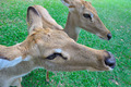 Deer (brow-antlered) - PhotoDune Item for Sale