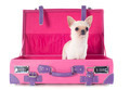 chihuahua in a box - PhotoDune Item for Sale