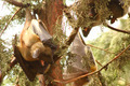 Yawning Fruit Bat - PhotoDune Item for Sale