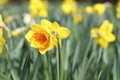 yellow narcissus - PhotoDune Item for Sale