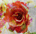 Rose Watercolor - PhotoDune Item for Sale