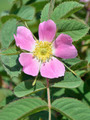 dog-rose flower - PhotoDune Item for Sale