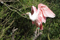 Roseate spoonbil, latalea ajaja - PhotoDune Item for Sale