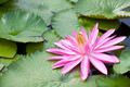 Blossom Lotus Flower - PhotoDune Item for Sale