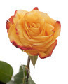 yellow rose - PhotoDune Item for Sale