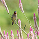 Scaly-Breasted Munia (Lonchura Punctulata) 1 - VideoHive Item for Sale