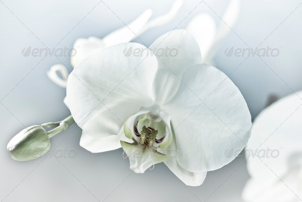 White Orchid - Stock Photo - Images