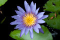 Close up of purple Lotus. - PhotoDune Item for Sale