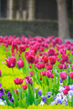 Pink & Purple Tulips Flowers in Field  - PhotoDune Item for Sale