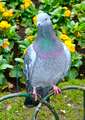 Pigeon Stood on Garden Railings - PhotoDune Item for Sale