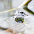 Frog in water - PhotoDune Item for Sale