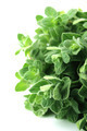 thyme herb - PhotoDune Item for Sale