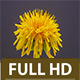 Dandelion Time Lapse (2-Pack) - VideoHive Item for Sale
