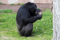 Chimpanzee (Pan Troglodytes) browsing a package - PhotoDune Item for Sale