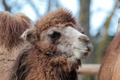 Head of a Camel (Camelus bactrianus) - PhotoDune Item for Sale