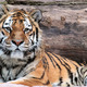 Siberian tiger (Panthera tigris altaica) lying - PhotoDune Item for Sale