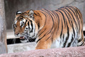 Siberian tiger (Panthera tigris altaica) walking - PhotoDune Item for Sale