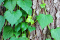 Tree bark with ivy - PhotoDune Item for Sale