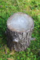Tree trunk cut - PhotoDune Item for Sale