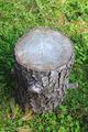 Tree trunk cut - PhotoDune Item for Sale