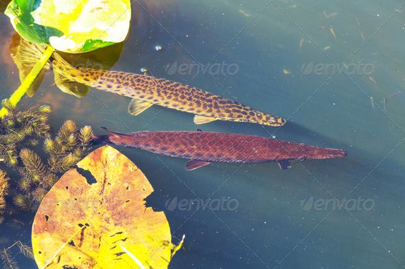 Fish in Everglades - Stock Photo - Images