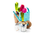 Fresh Hyacinth flower bulb in pot and garden tools - PhotoDune Item for Sale