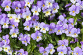 Pansy Flowers Background - PhotoDune Item for Sale