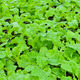 Fresh Chinese cabbage - PhotoDune Item for Sale