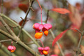 European Spindle Tree in Autumn - PhotoDune Item for Sale