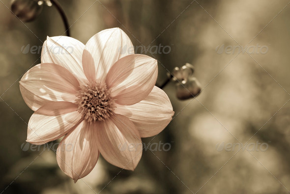 Dahlia - Stock Photo - Images