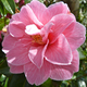 pink flower - PhotoDune Item for Sale