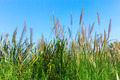 Grass flower with blue sky - PhotoDune Item for Sale