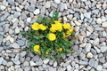 dandelion growing from gravel - PhotoDune Item for Sale