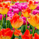 Floral Tulips Background - PhotoDune Item for Sale